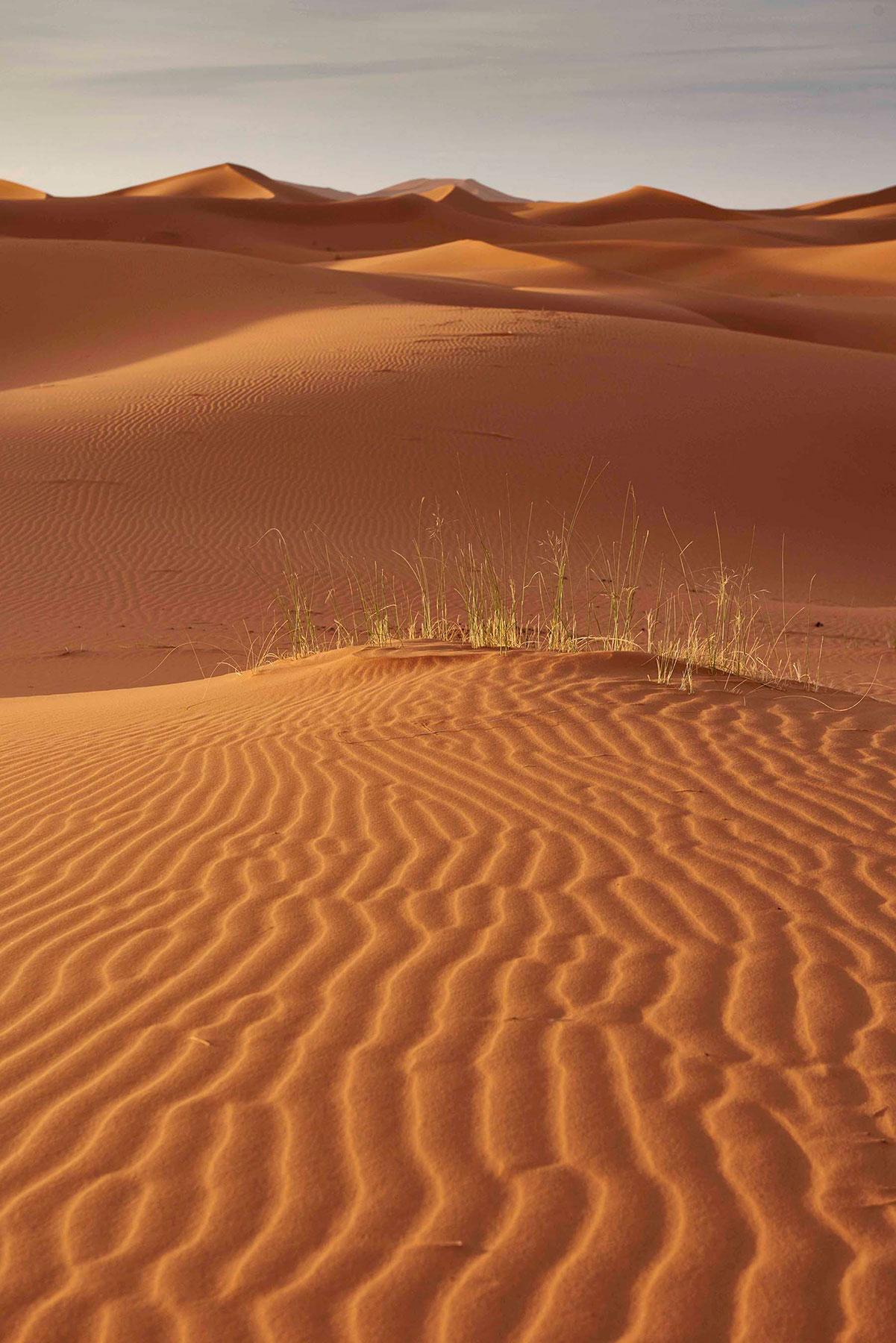 woestijngras